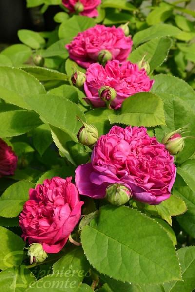 ROSIER Rose de Rescht  ®