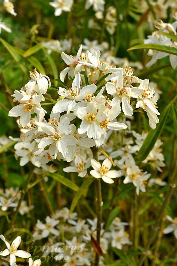 Oranger du mexique 39 aztec pearl 39 p pini re lecomte - Oranger du mexique entretien ...