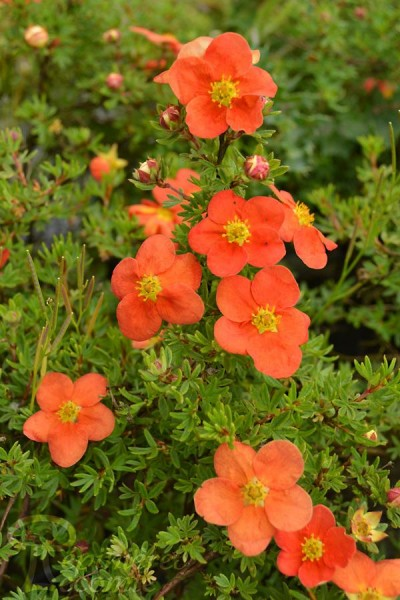 POTENTILLA fruticosa Red Ace® Bloace