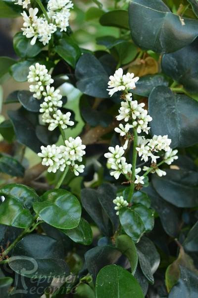 TROÈNE du Japon à feuilles coriaces