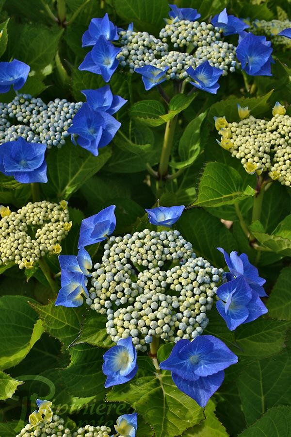 HORTENSIA Blue Wave