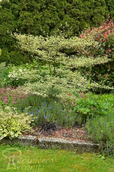 CORNOUILLER Alternifolia 'Argentea'