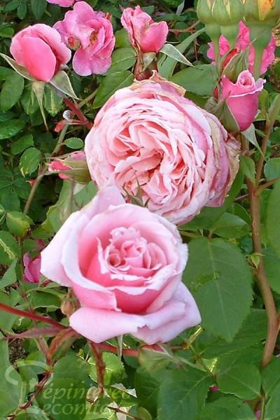 rosier blossom times