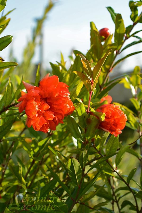 GRENADIER commun Pleniflora