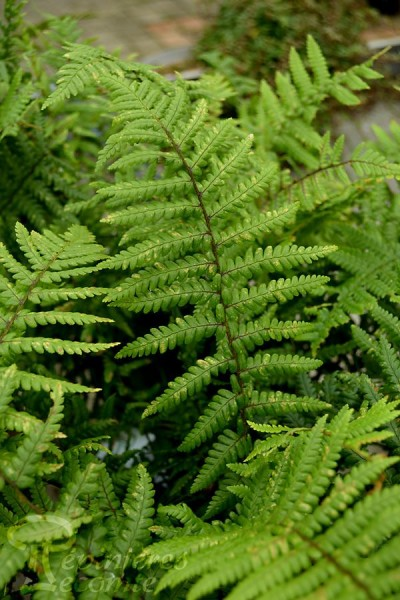 FOUGÈRE Dryopteris Affinis