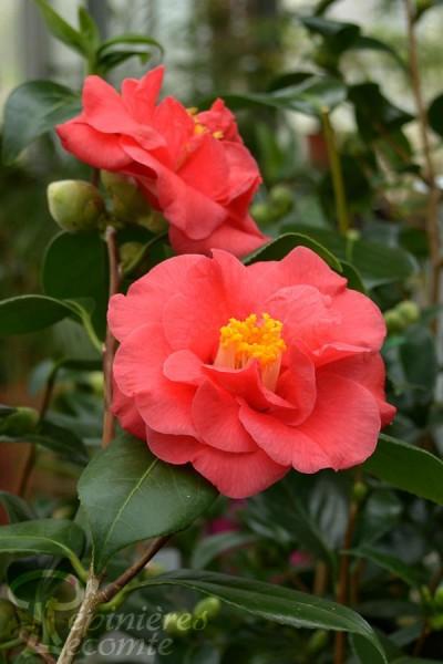 CAMÉLIA japonica 'Adolphe Audusson'