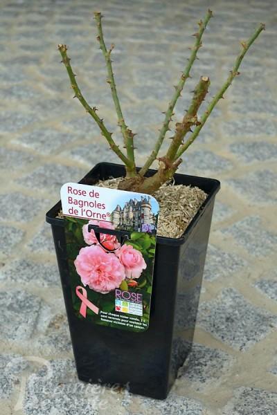 ROSIER Rose de Bagnoles de l'Orne ®