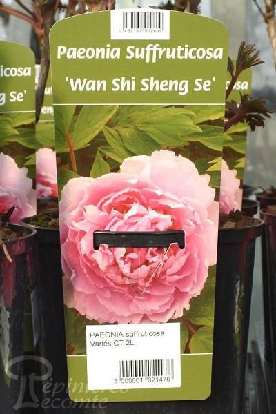PIVOINE Arbustive 'Wan Shi Sheng Se'