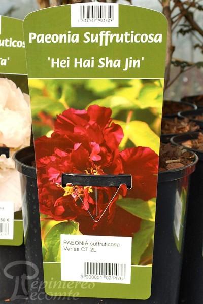 PIVOINE Arbustive 'Hei Hai Sha Jin'