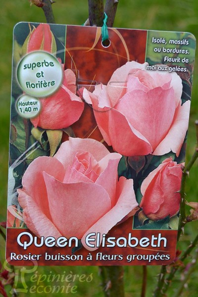 ROSIER Queen Elisabeth