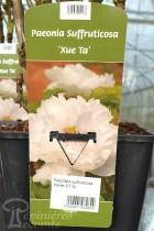 PIVOINE Arbustive 'Xue Ta'