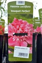 PIVOINE Herbacée 'Bouquet Perfect'