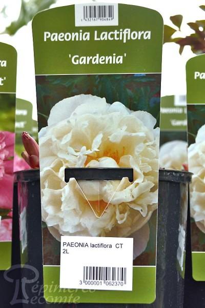 PIVOINE Herbacée 'Gardenia'