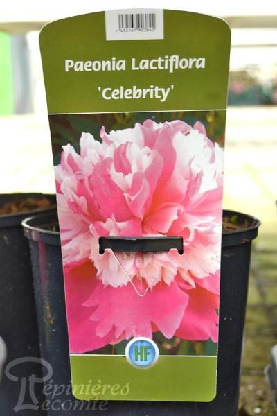PIVOINE Herbacée 'Celebrity'