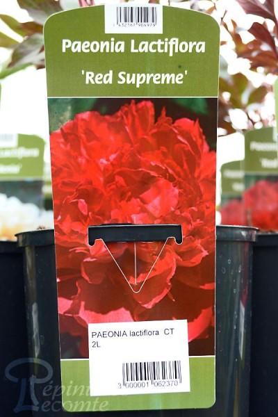 PIVOINE Herbacée 'Red Supreme'