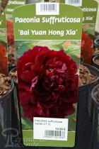PIVOINE Arbustive 'Bai Yuan Hong Xia'