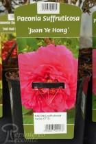 PIVOINE Arbustive 'Juan Ye Hong'