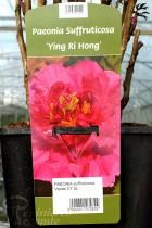 PIVOINE Arbustive 'Ying Ri Hong'