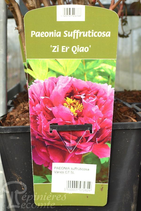 PIVOINE Arbustive 'Zi Er Qiao'