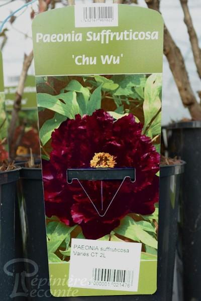 PIVOINE Arbustive 'Chu Wu'