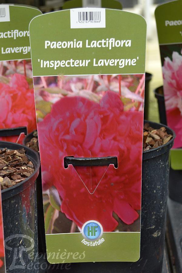 PIVOINE Herbacée 'Inspecteur Lavergne'