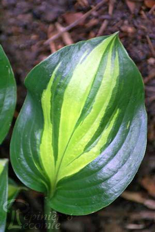 HOSTA 'Adorable'