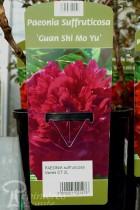 PIVOINE Arbustive 'Guan Shi Mo Yu'