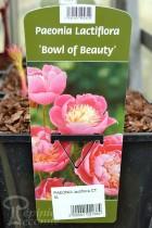 PIVOINE Herbacée 'Bowl of Beauty'