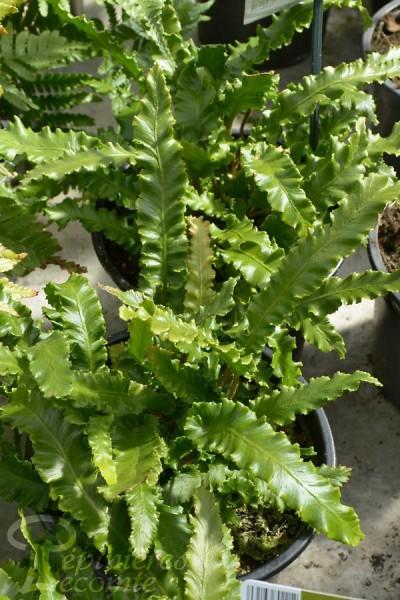 FOUGÈRE asplenium scolopendrium angustatum