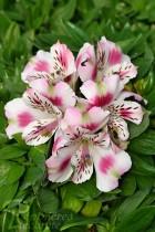 ALSTROMÈRE Naine 'White Pink Blush'