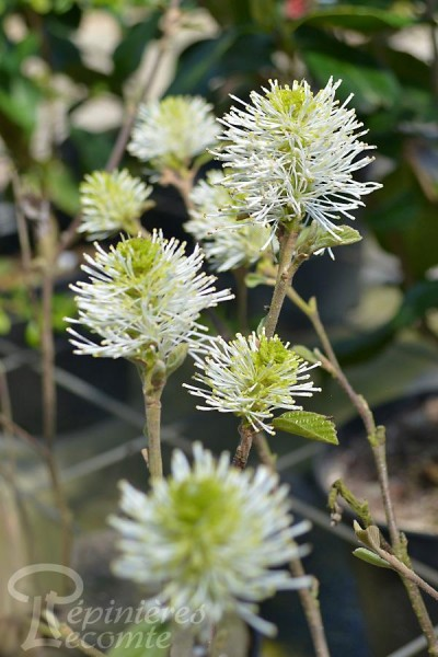 FOTHERGILLA Major 'Mount Airy'