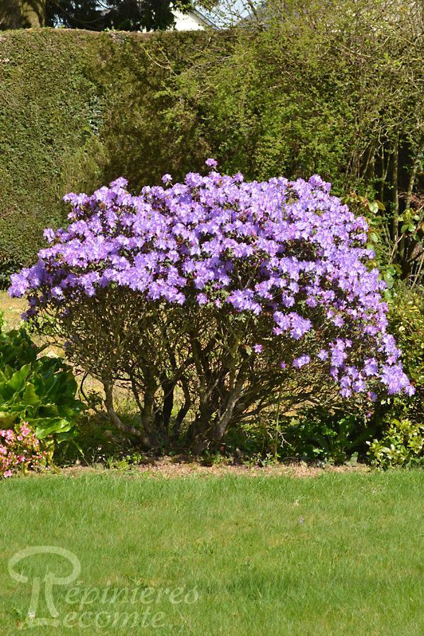 Arbuste persistant ombre saint etienne 1923 for Arbuste persistant ombre le havre