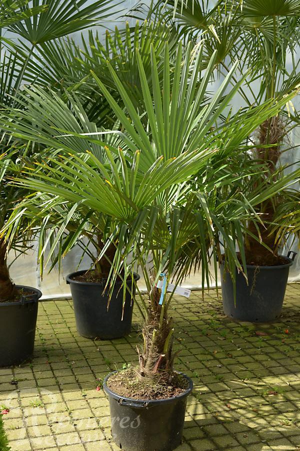 palmier chanvre p pini re lecomte. Black Bedroom Furniture Sets. Home Design Ideas