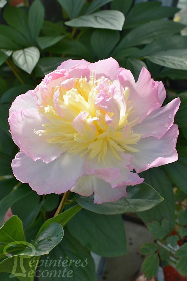 PIVOINE Herbacée 'Raspberry Sundae'
