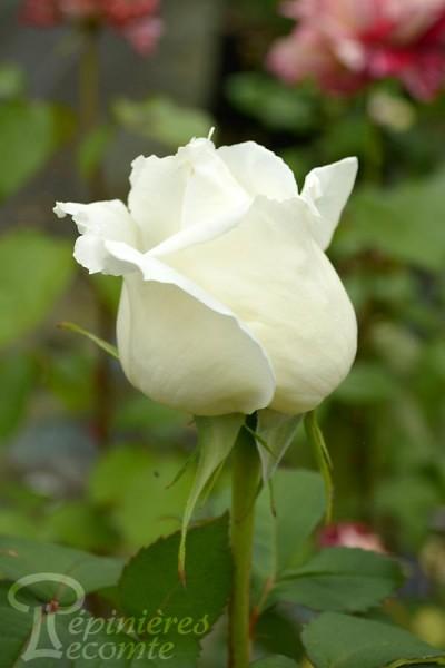 ROSIER Jeanne Moreau ®