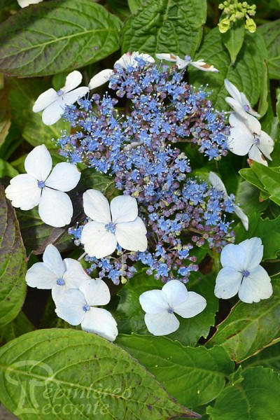 HORTENSIA Blue Bird
