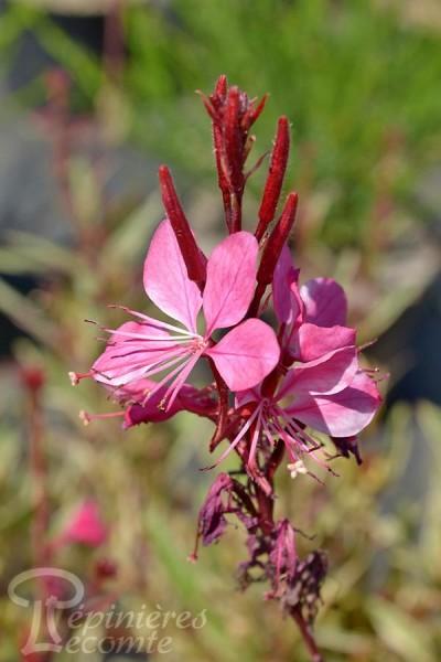 GAURA Lindheimeri 'Pink Panache'