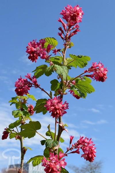 GROSEILLER à Fleurs 'King Edward VII'