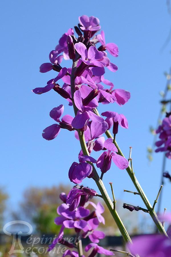 GIROFLÉE 'Bowles Purple'