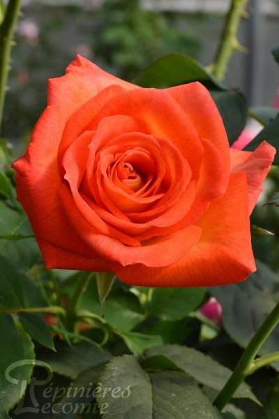 ROSIER Estelle ® (Tige)