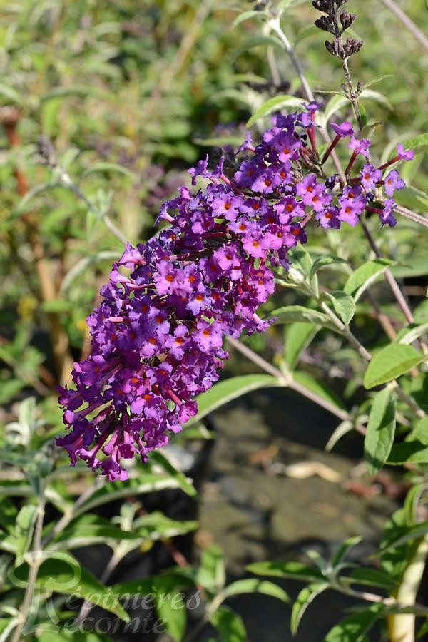 BUDDLEIA de David 'Nanho Purple'
