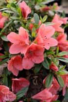 AZALÉE du Japon 'Pink Cascade'