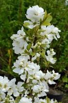 EXOCHORDA racemosa niagara