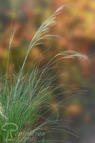 STIPA Tenuifolia 'Cheveux d'Ange'