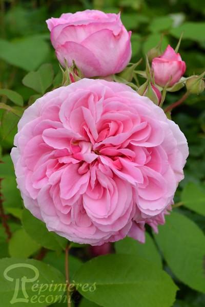 ROSIER Gertrude Jekyll ®