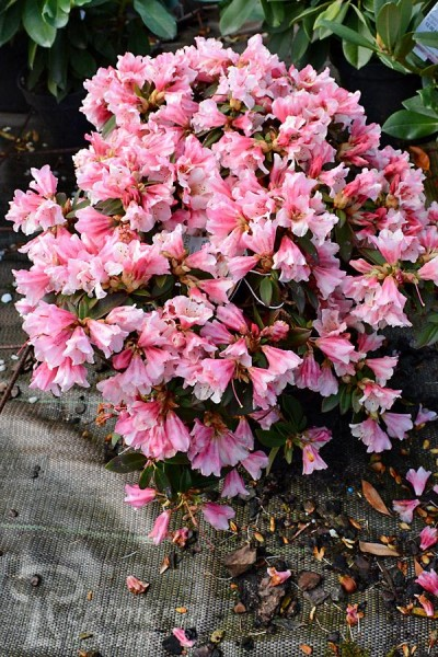 RHODODENDRON nain Wee Bee