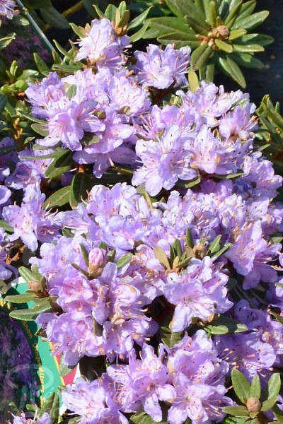 RHODODENDRON nain Impeditum Select