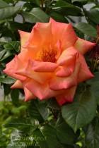 ROSIER Doux Parfum ® (Tige)