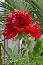 PIVOINE Herbacée 'Red Charm'