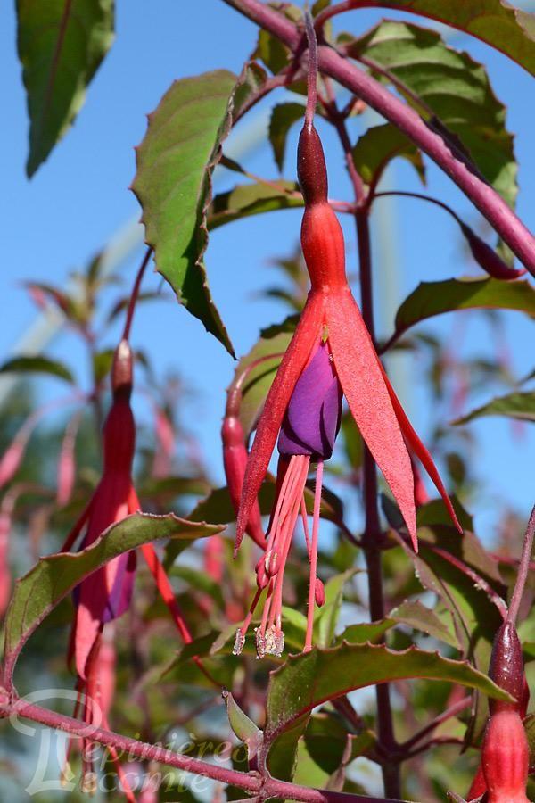 FUCHSIA Magellanica Ricartonii